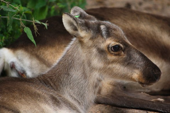 reindeer-79082_960_720